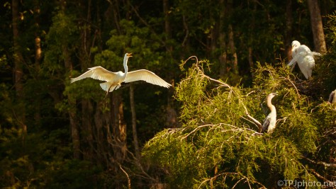 Egrets, Anhingas, Settling In Same Tree - Click To Enlarge