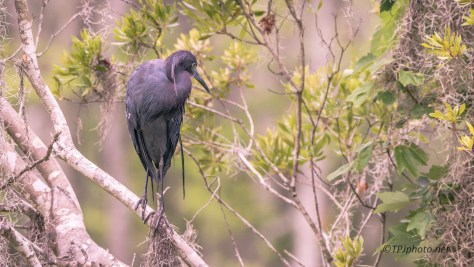 Little Blue In Small Rookery - Click To Enlarge