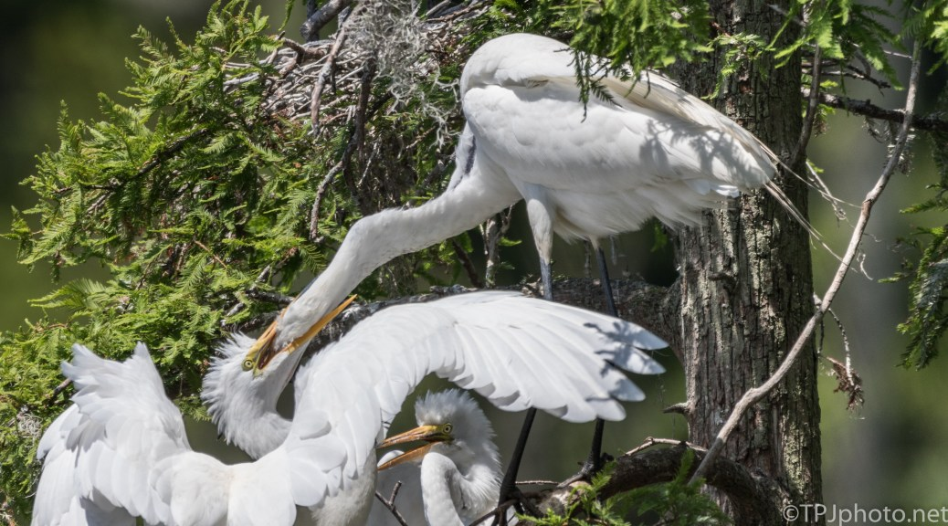 Chewing Mom's Head, Egrets - Click To Enlarge
