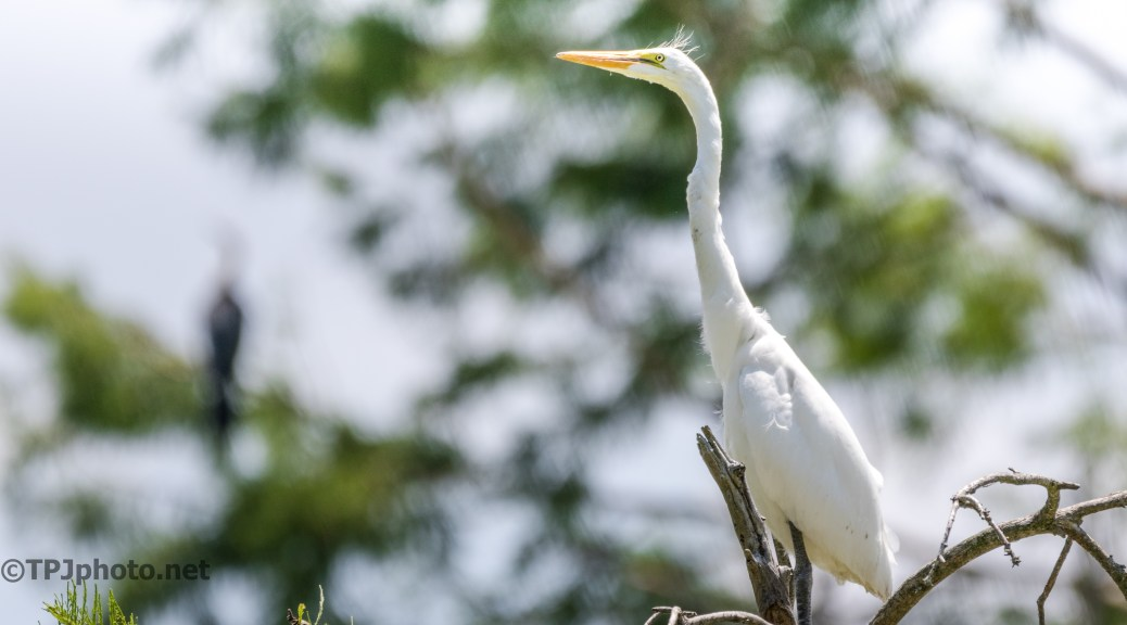 Great Egret Planning A Trip - Click To Enlarge