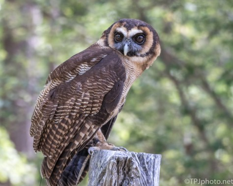 Brown Wood Owl - Click To Enlarge