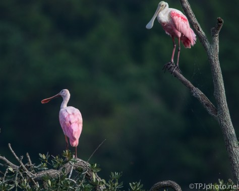 Spoonbills Sitting Pretty - Click To Enlarge