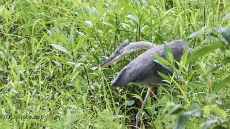 Tale Of Two Herons, One Has All The Moves - Click To Enlarge