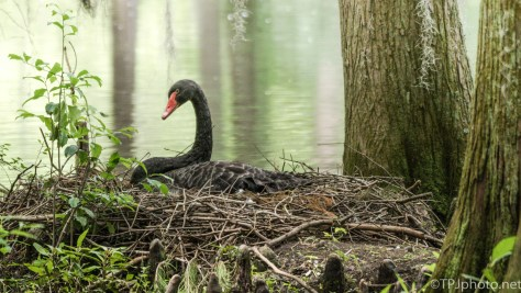 Nesting Black Swan - Click To Enlarge
