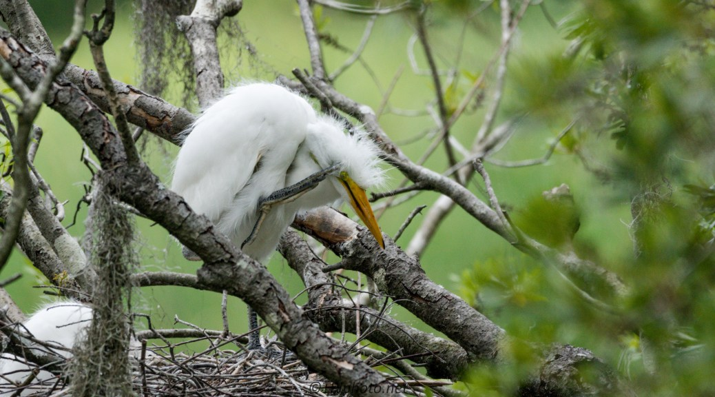 Baby Egret - Click To Enlarge