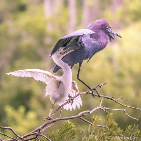 Little Blue Herons - Click To Enlarge