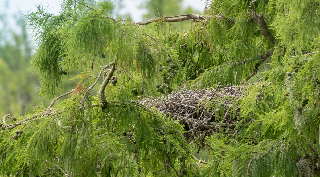 Tale Of Two Herons, Empty Nest - Click To Enlarge