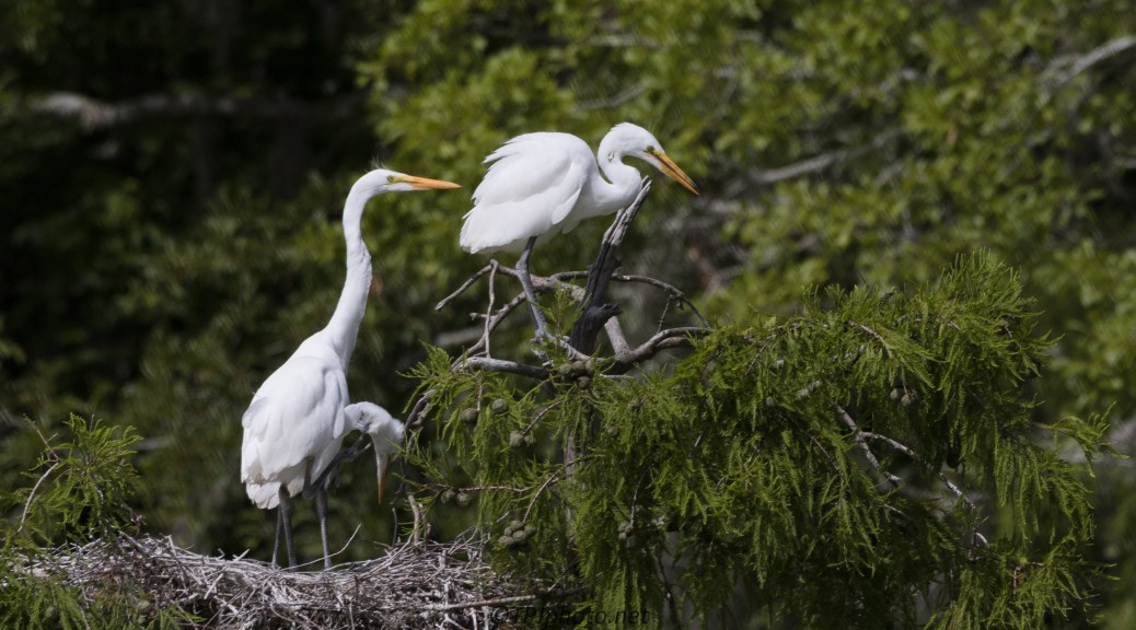 Waiting At The Nest, Great Egrets - Click To Enlarge