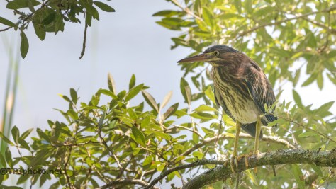 Green Heron In An Open Spot - Click To Enlarge