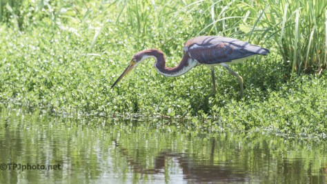 Tricolored Heron In A Marsh - Click To Enlarge