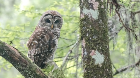 Barred Owl, Swamp - Click To Enlarge
