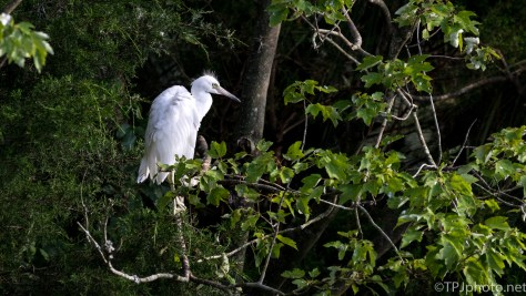 Herons Hiding In A Tree - Click To Enlarge