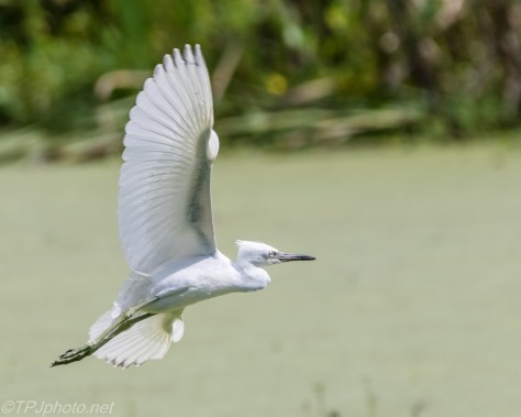 A Short Hop, Little Blue Heron - Click To Enlarge
