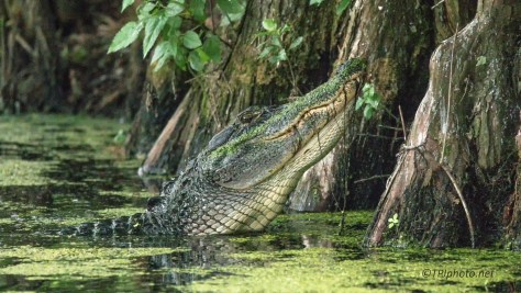 Alligator, When You Hear Them Breath - Click To Enlarge