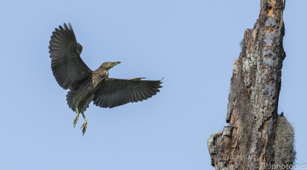 Next Lesson Is Landing, Night Heron - Click To Enlarge