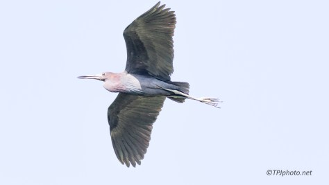 Little Blue Heron Fly By - Click To Enlarge