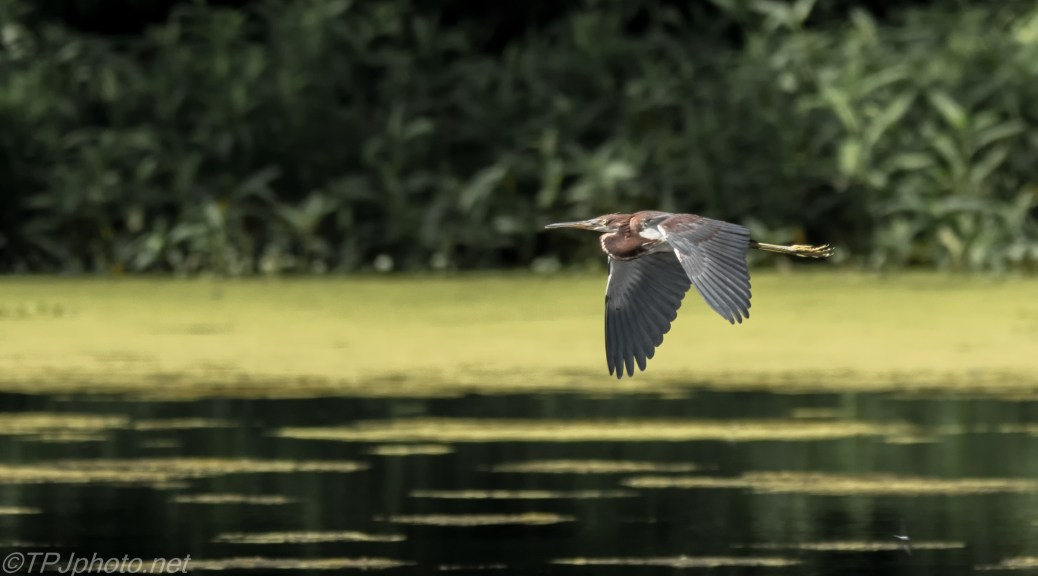 Tricolored Heron Passing By - Click To Enlarge