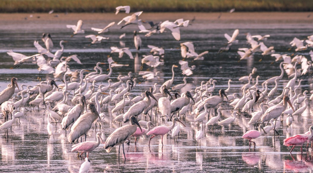 Flocks Of Birds In A Marsh - Click To Enlarge