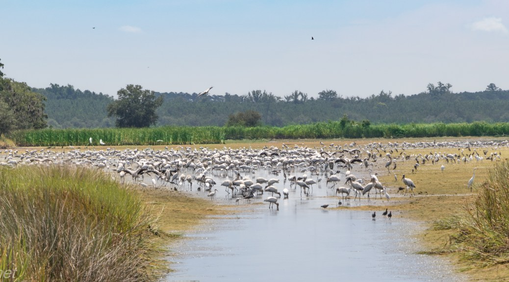 Looking For Wood Storks - Click To Enlarge