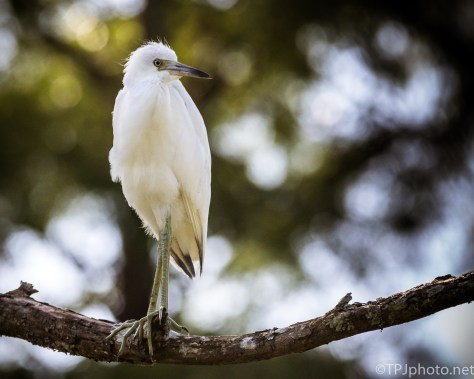 Look At Those Toes, Little Blue Heron - Click To Enlarge