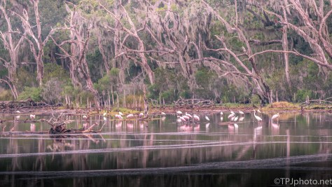 Egrets And Storks And Sneaking Around - Click To Enlarge