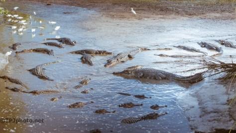 Alligators, Open Flood Gate - Click To Enlarge