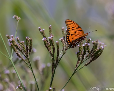 Gulf Fritillary Butterfly - Click To Enlarge