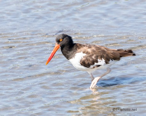 Oyster Catcher Strolling By - Click To Enlarge