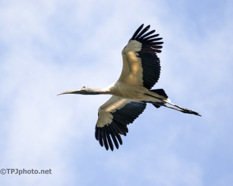 Large And Close, Wood Stork - Click To Enlarge