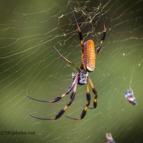 Swamp Spiders - Click To Enlarge