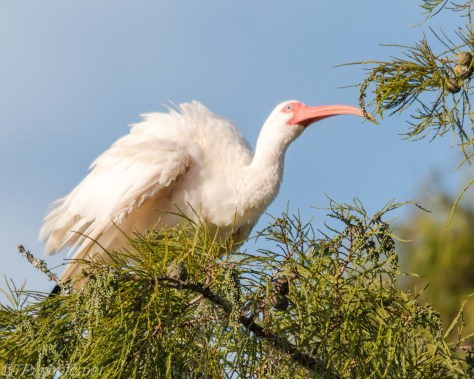 White Ibis Puffing Up - Click To Enlarge