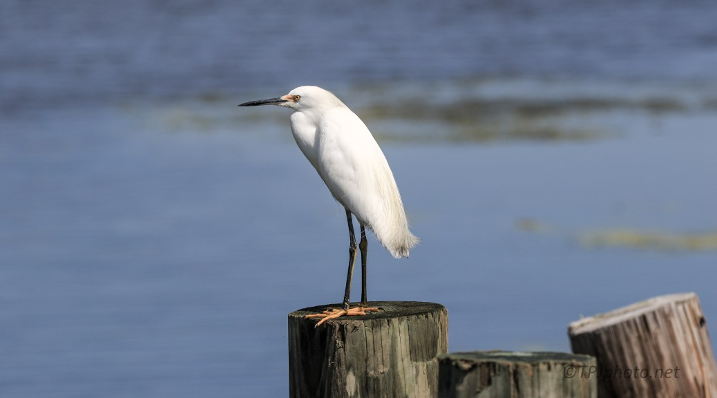 Snowy Egret On A Dike - Click To Enlarge