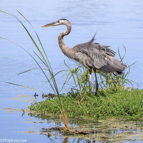 Watching A Great Blue Heron - Click To Enlarge