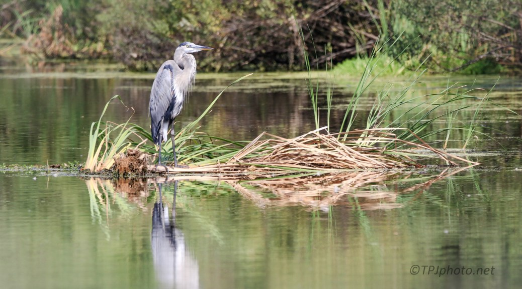 Great Blue On Floating Reeds - Click To Enlarge
