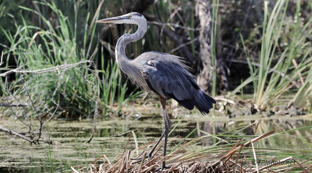 Classic Great Blue Heron - Click To Enlarge