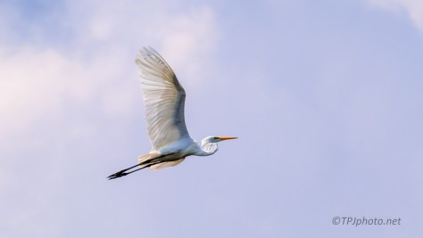 Great Egret, Twice - Click To Enlarge