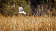 Slow Egret Over The Marsh - Click To Enlarge