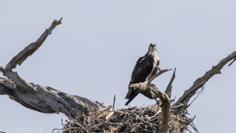 Osprey Stays By The Nest - Click To Enlarge