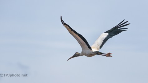 Wood Stork Going In A Marsh - Click To Enlarge