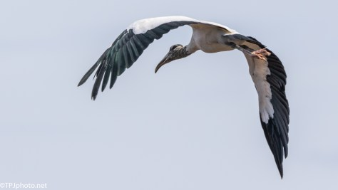 Stork, Close Fly By - Click To Enlarge
