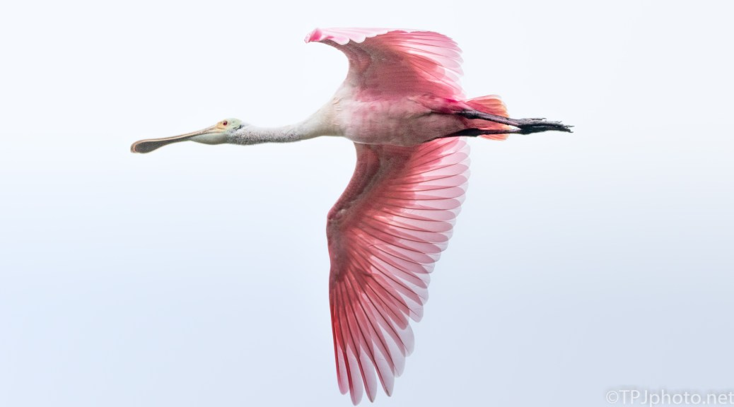 Roseate Spoonbill Close Fly By - click to enlarge