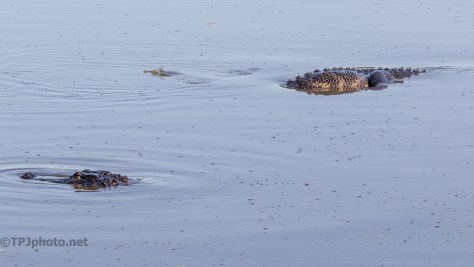 Alligators Feeding - click to enlarge