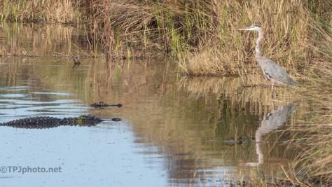 Alligators Outnumber Heron - click to enlarge