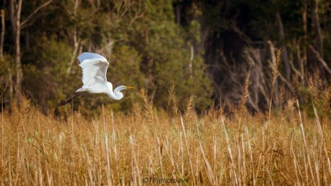Great Egret Over The Reeds - Click To Enlarge