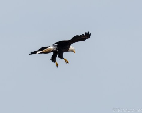 Bald Eagle Fly By - Click To Enlarge