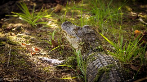 On The Trail, Alligator - Click To Enlarge
