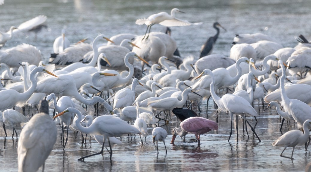 A Crowd, Marsh Birds - click to enlarge