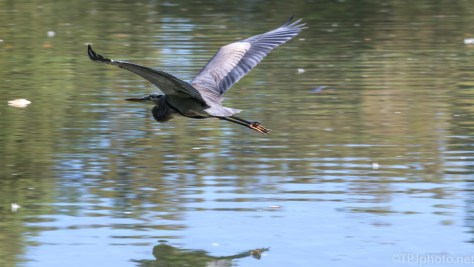 Great Blue Flying Low - click to enlarge