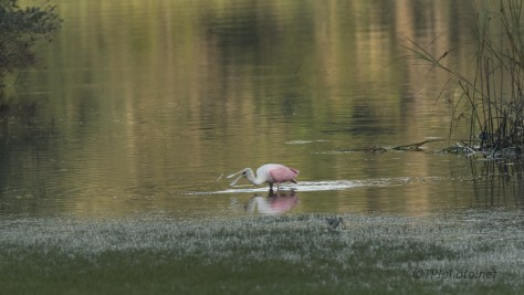 Little Tasty Morsels, Spoonbill - click to enlarge