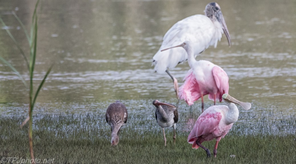 Walk Like This, Ibis, Spoonbill - click to enlarge